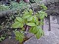 AZ0108 Ulmus minor. Calton Hill Park, Edinburgh (12).jpg