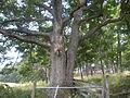 A Large Tree (7181350823).jpg