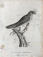 A New Holland goatsucker sitting on a branch of a tree. Etch Wellcome V0022863EL.jpg