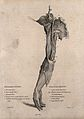A dissected arm, lettered for key. Etching by Lizars after C Wellcome V0009641.jpg
