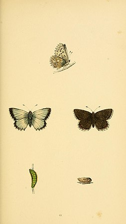 A history of British butterflies BHL14821372.jpg
