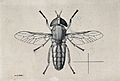 A horse fly (Tabanus ditaemiatus). Pen and ink drawing by A. Wellcome V0022591.jpg