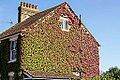 A house with red and green creeping vines covering one wall.jpg