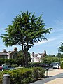 A interesting tree in the public car park of the National Archives, Kew - geograph.org.uk - 1334987.jpg
