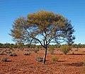 A mulga tree.jpg