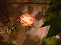 A rose in autumn (2009).jpg