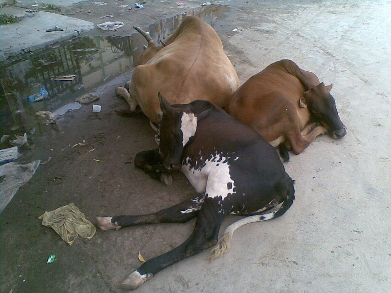 File:A view of Sleeping Cows.jpg
