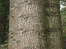 Abies grandis bark.jpg