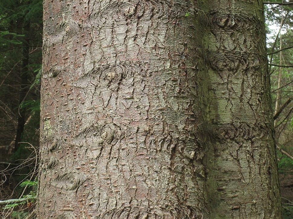 Abies grandis bark