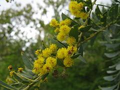 Acacia cultriformis4.jpg