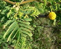 Acacia tortuosa br