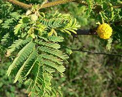 Vachellia tortuosa – Wikipédia, a enciclopédia livre