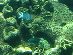 Acanthochromis polyacanthus, Sea World, Gold Coast, Queensland, Australia - 20051227.jpg