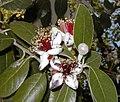 Acca sellowiana RJB.jpg