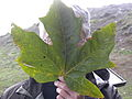 Acer macrophyllum leaf.jpg