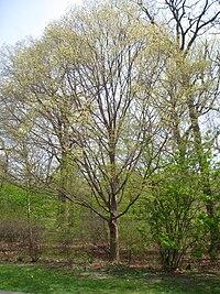 Acer maximowiczianum, Arnold Arboretum - IMG 5917