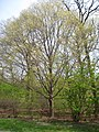 Acer maximowiczianum, Arnold Arboretum - IMG 5917.JPG