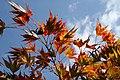 Acer palmatum 'Kinran' JPG1b.JPG