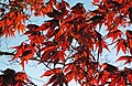 Acer palmatum (Japanese maple tree) (Newark, Ohio, USA) 3 (17150600127).jpg