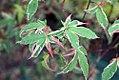 Acer palmatum Oridono nishiki 0zz.jpg