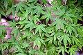Acer palmatum in Eastwoodhill Arboretum (5).jpg