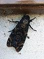 Acherontia atropos Calceranica 02.jpg