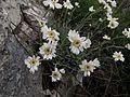 Achillea ageratifolia subsp. serbica.jpg