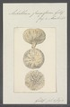Achilleum fungiforme - - Print - Iconographia Zoologica - Special Collections University of Amsterdam - UBAINV0274 112 03 0010.tif