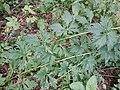 Aconitum variegatum subsp. variegatum sl7.jpg