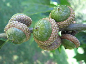 English: A group of acorns.