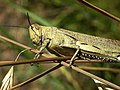 Acrididae grasshopper-3.jpg