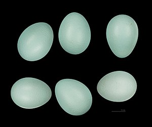 Common myna - Turquoise blue-coloured egg of common myna.