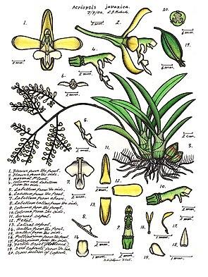 Acriopsis liliifolia (als Synonym Acriopsis javanica)