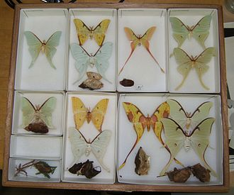 Actias - An assortment of mounted Actias moths and their cocoons