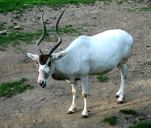 Addax - The coat colour in summer