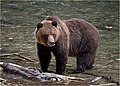 Adult grizzly bear, Bute Inlet.jpg