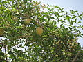 Aegle marmelos fruit 06.JPG