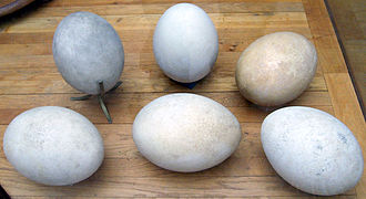 Elephant bird - Aepyornis eggs, Muséum national d'Histoire naturelle, Paris