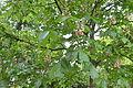 Aesculus carnea - City Park in Lučenec (3).jpg