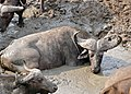 African Buffalo (Syncerus caffer) taking a mud bath ... (31534382893).jpg