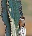African Dusky Flycatcher (Muscicapa adusta) (32397609066).jpg