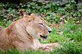 African Lion (23101677890).jpg