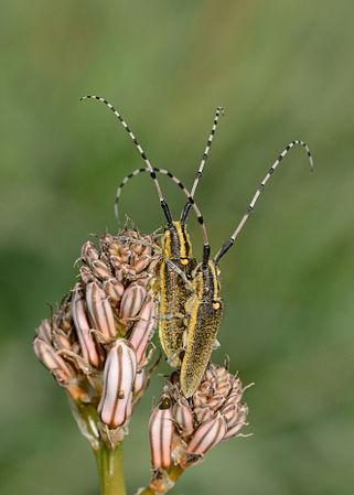 Agapanthia pustulifera copulation 1.jpg