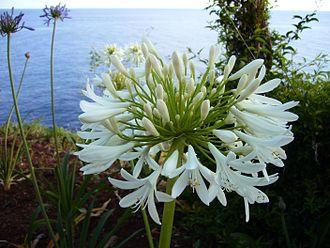 Agapanthus praecox - Image: Agapanthus praecox white Madeira