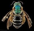 Agapostemon coloradinus, F, back, Shannon Co., S. Dakota 2014-01-09-14.23.04 ZS PMax (12229525165).jpg