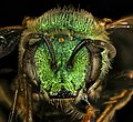 Agapostemon sericeus, f, face, Pr. George's Co., MD 2016-10-20-13.42 (30370911082).jpg