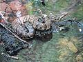 Agkistrodon piscivorus piscivorus lightII.JPG
