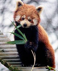 Przedstawiciel rodziny – pandka ruda (Ailurus fulgens)