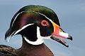 Aix sponsa (Wood Duck - Brautente) - Weltvogelpark Walsrode 2012-03.jpg