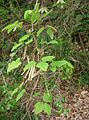 Akebia trifoliata9.jpg